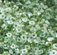 baby s breath wholesale baby s breath flowers in bulk for sale