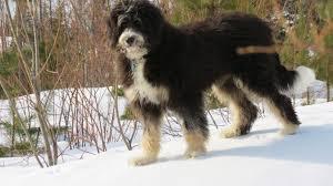 afghan hound poodle cross bernedoodle bernese mountain dog and poodle mix spockthedog com