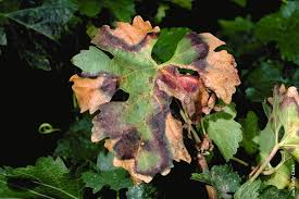 Plant Diseases With Pictures - pierce u0027s disease costs california 104 million per year