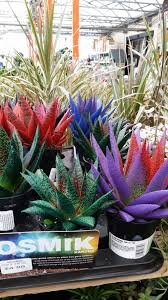 13 succulents that are native cactus and tender succulents forum dyed succulents and cacti