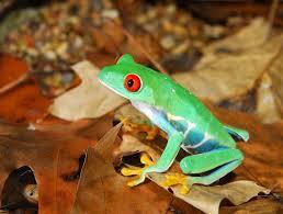 costa rica s eyed tree frog go visit costa rica