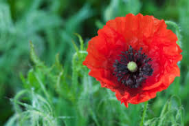 poppies flowers poppy flower meaning flower meaning