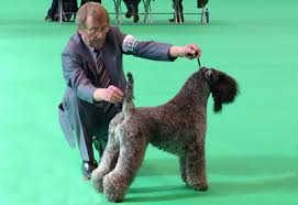 affenpinscher crufts 2016 kerry blue terrier association uk