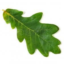 White Oak Leaf Oak Leaves Oak Leaves Pinterest Oak Leaves