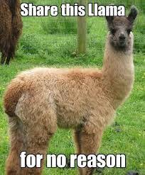 Llama Meme - 30 pictures of llamas with caption that very cute funny and awasome