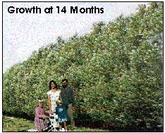 fast growing trees ameri willow other willows