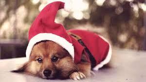 dog christmas 5 dog christmas for the howl iday season petcarerx