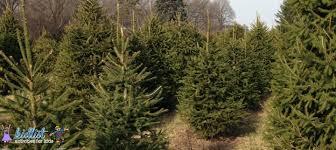 christmas trees where to cut down or buy a precut live christmas