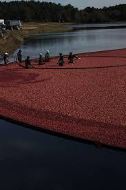 cranberry harvest google search cranberry harvest pinterest