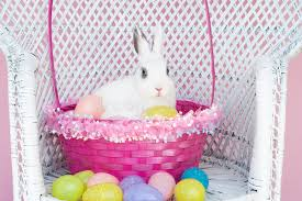 rabbit easter basket white rabbit in easter basket with easter eggs stock photo image