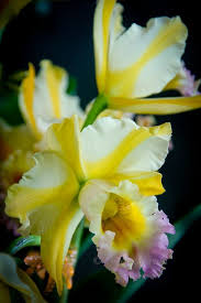 Orchid Flower Pic - 223 best flowers uncommon images on pinterest plants rare