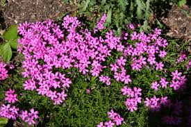 Phlox Flower Moorheim Phlox At Our Pleasant Hill Home