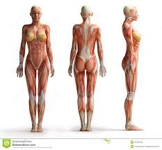 Anatomy Videos Free Download Female Anatomy View Royalty Free Stock Photos Image 35423328