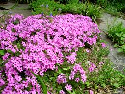 native plants illinois moss phlox google search native plants columbia county ny