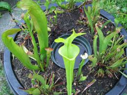 plants native to new york grow carnivorous plants in a diy mini bog brooklyn botanic garden