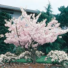 shop 24 5 gallon yoshino flowering cherry tree l3234 at lowes
