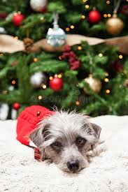 little dog laying in front of christmas tree stock photo image