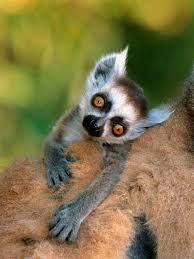 Lemur Meme - meme maker lemur generator