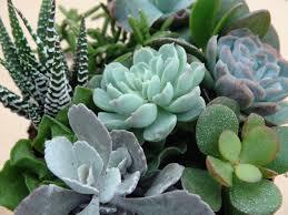 buy plants online canadian hardy succulents