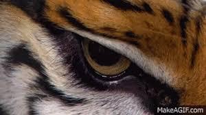 lsu tiger eye gif on imgur