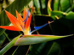 bird of paradise flower strelitzia reginae bird of paradise flower world of flowering