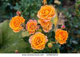 Golden Roses Closeup Golden Roses Flower Blossoming Garden Stock Photo