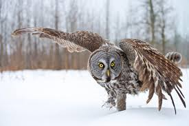 20 fun facts about owls bird trivia