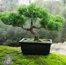 79 best bonsai images on bonsai trees bonsai plants