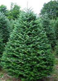 real christmas trees for sale christmas trees millstreet ie