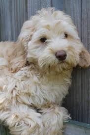 doodle doo labradoodles 103 best labradoodle images on beautiful cats and dogs