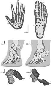 Sole Of The Foot Anatomy From Flat Foot To Fat Foot Structure Ontogeny Function And