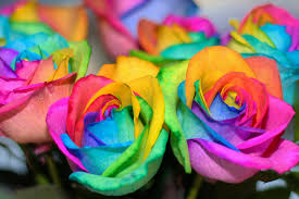 multi colored roses anatomy of our rainbow celebrations celebrations ltd