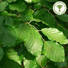 fagus sylvatica green beech tree buy common beech