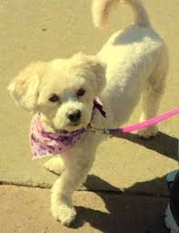 haircutsfordogs poodlemix just groomed furrbabies pinterest lhasa lhasa apso and dog