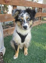 australian shepherd 4 months size dog of the day ozzy the miniature australian shepherd puppy the