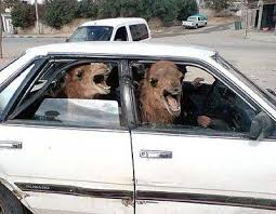 Camel Meme - two camels in a tiny car know your meme