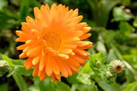 edible flowers to grow in your garden reader u0027s digest
