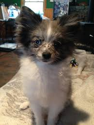 australian shepherd pomeranian mix dog com photo contest disney