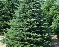 fir tree etsy