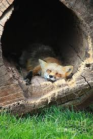 sleeping red fox wallpapers kettukolo cuteness overload pinterest cant sleep foxes and