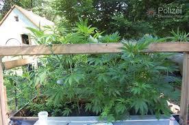 cannabis im garten altenglan cannabisplantage in garten entdeckt metropolnews info
