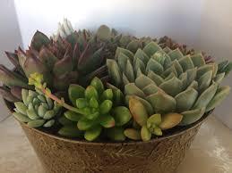 succulent plant arrangement completely assembled large succulent