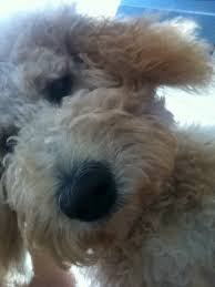 doodle doo labradoodles 546 best doodles images on at home cats and