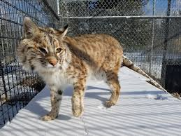 Minnesota traveling with cats images Wildcat sanctuary welcomes 2 bobcats seeks name suggestions jpg