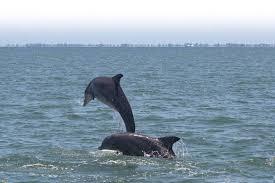 eckerd college dolphin project eckerd college