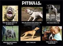 Pitbull Puppy Meme - the 24 most annoying pit bull memes observer