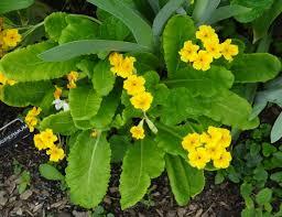octoraro native plant nursery groundcover commonweeder
