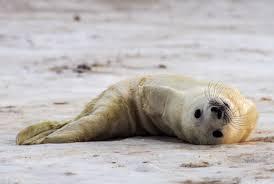 seal keeps shutting down a cape cod beach mental floss