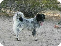 australian shepherd and border collie mix rodeo border collie aussie mix adopted dog thatcher az