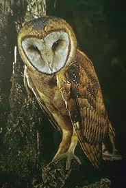 Scientific Name Of Barn Owl Utah Division Of Wildlife Resources